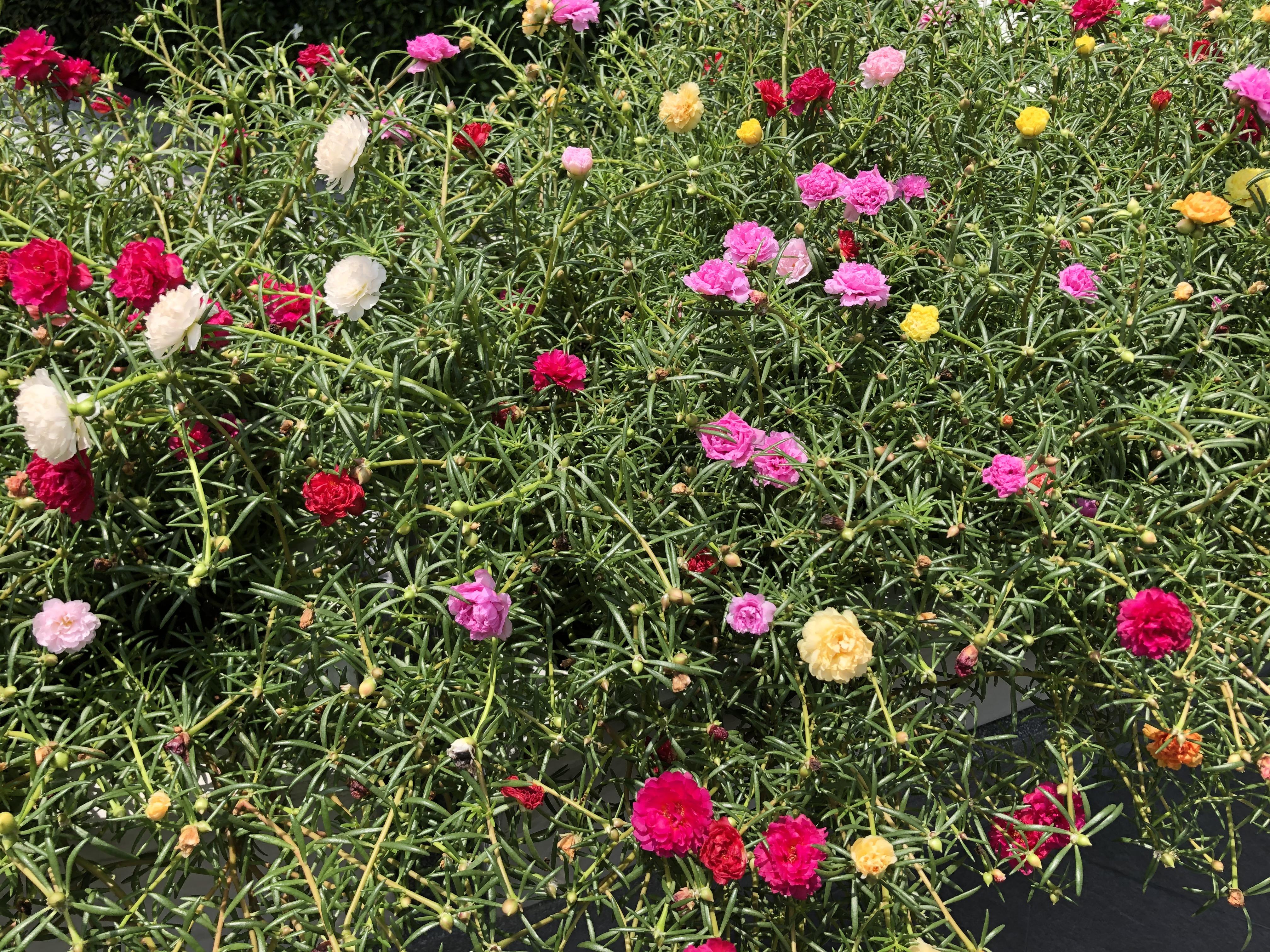 コンドミニアム周辺に咲いてたお花